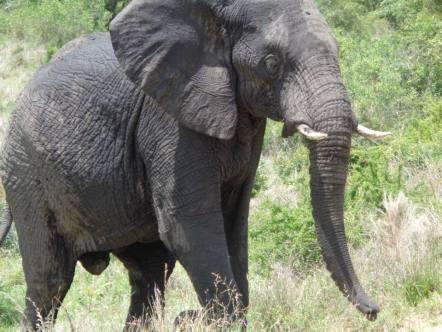 Elephant at Kruger