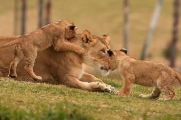 Lions-Lion-Cubs1-500x333
