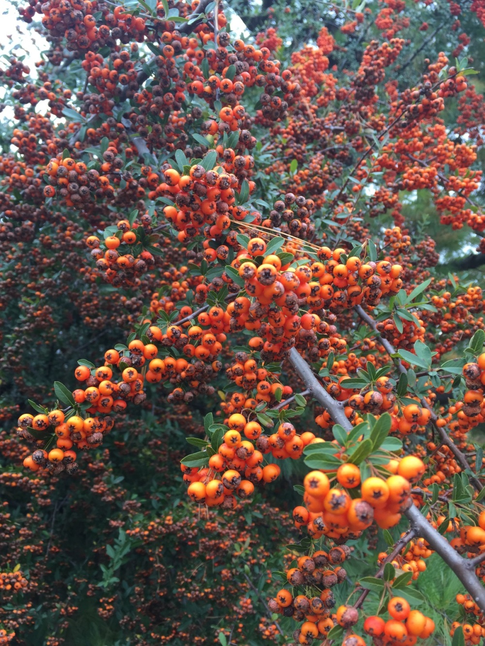 orange berries