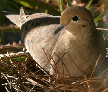 Dove sitting in nest