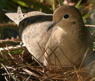 Dove sitting in nest