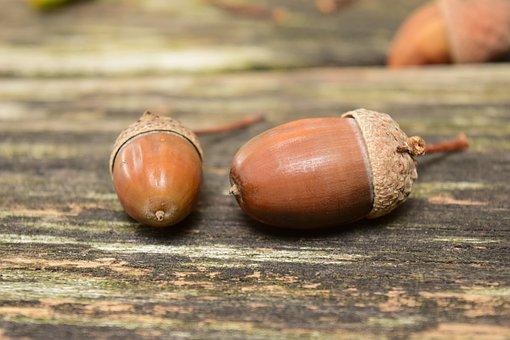 acorns2