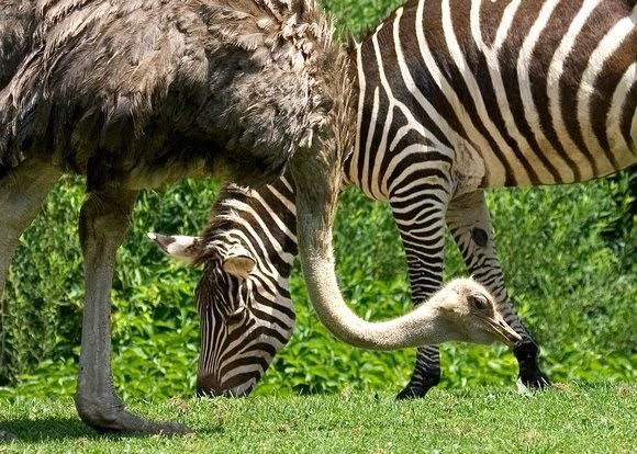 zebra-and-ostrich