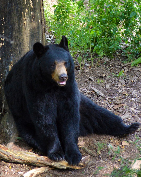Mammal Fur Sitting Bear American Black Bear