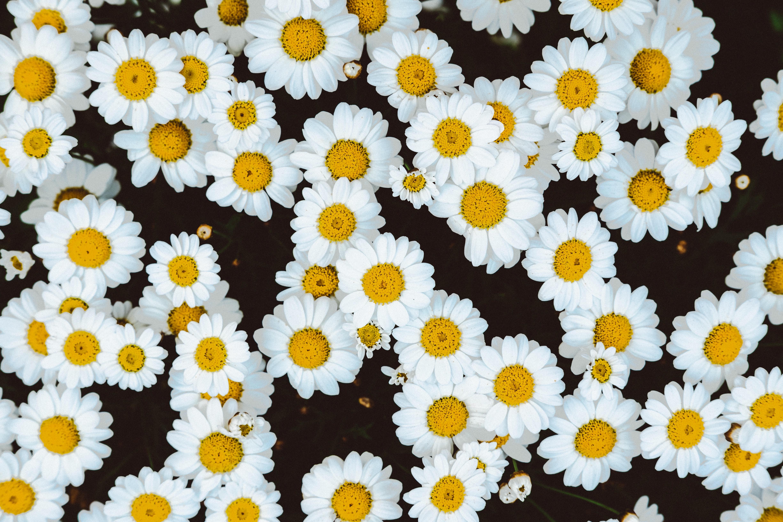 Flowers daisies women who hope flowers daisies izmirmasajfo