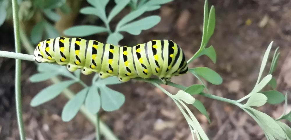 1063590_596028-Caterpillar