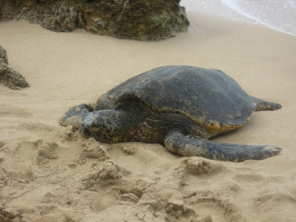 green back turtle in Hawaii
